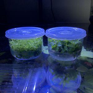 Aquarium plant tissue culture for Sale in Garden Grove, CA