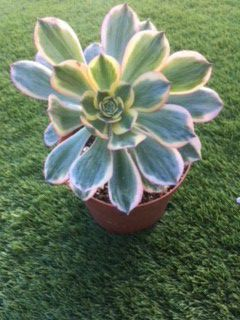 """Succulent / Plant / 6"""" for Sale in San Marcos, CA"""