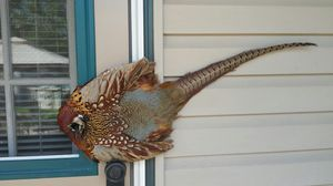 Pheasant for Sale in St. Louis, MO