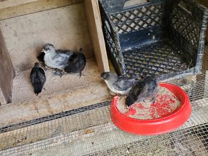 Blue copper marans/EE and blue copper marans/Americauna chick's for Sale in Huffman, TX