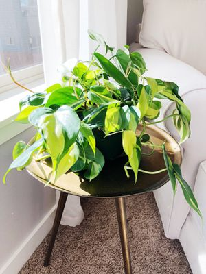 Indoor live vining plant for Sale in Vancouver, WA