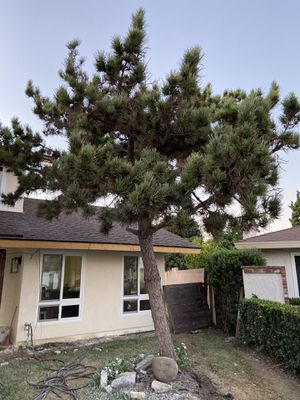 Free Pine Tree 12ft tall for Sale in Fountain Valley, CA
