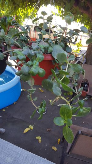 Soculenta $8 for Sale in Dinuba, CA