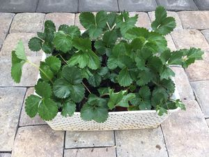 Strawberry Plants! for Sale in Lyman, SC