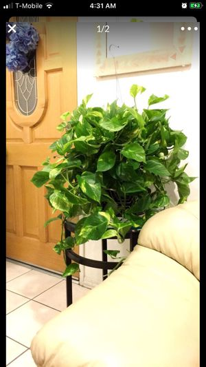 Golden Pothos Plants in a hanging container for Sale in Garden Grove, CA