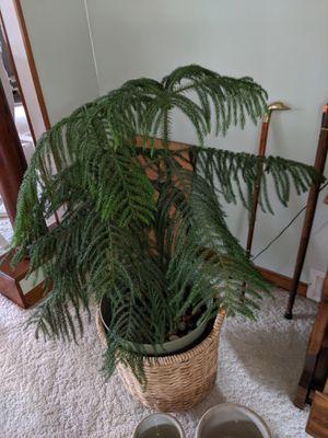 Northfolk pine tree for Sale in Appleton, WI