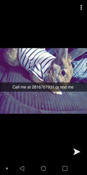Rabbit for Sale in Houston, TX