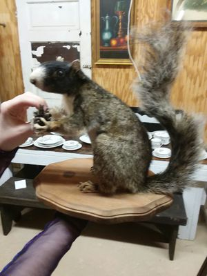 Taxidermied and Mounted Fox Squirrel for Sale in Sunbury, OH