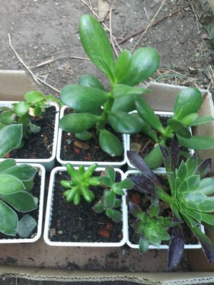 Baby variety succulents in small clay or plastic pots $2_$5 for Sale in Richmond, CA