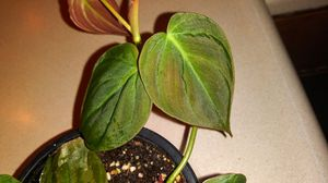Philodendron Micans for Sale in Spokane, WA