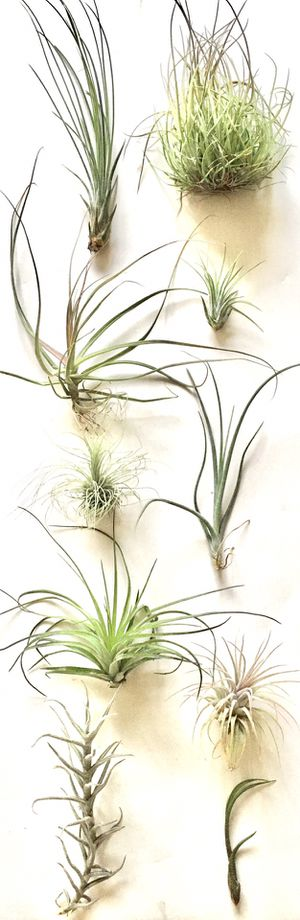 """10 Assorted Live Air Plants Size 2"""" to 7"""", All Different Kind for Sale in Everett, WA"""