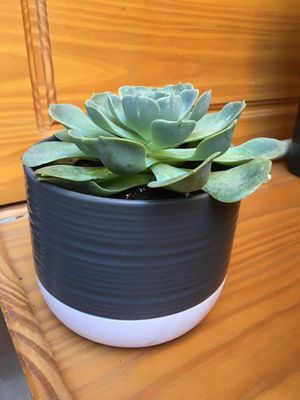 BEAUTIFUL SUCCULENT PLANTS for Sale in Fresno, CA
