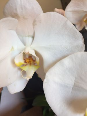 White, Yellow & Red Orchid Blue Pot REAL for Sale in Rialto, CA