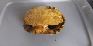 Turtle shell for Sale in Wichita, KS