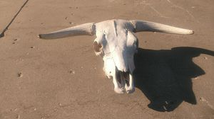 Large old cow skull for Sale in Pimento, IN