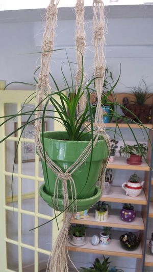 Live baby Spider plant in ceramic pot suspended in macrame hanger. for Sale in Tacoma, WA
