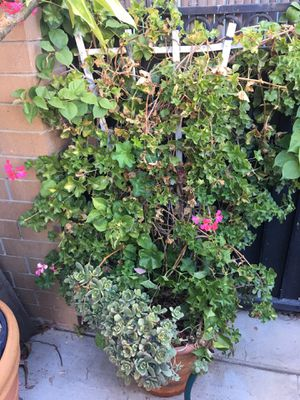 Big beautiful pink climbing geraniums mix with a red bougainvillea/ succulents for Sale in Corona, CA