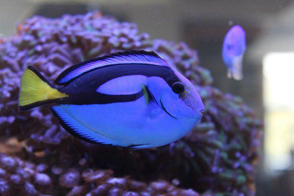 Salt water blue tang