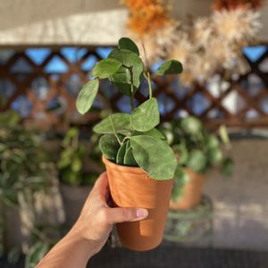 #2 Hoya Obovata Plant 🪴(Terra-Cotta Planter Included) for Sale in Westminster, CA