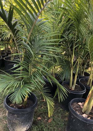 King palms $45 each for Sale in Orange, CA