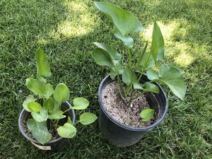 Alcatraz/ calla lily for Sale in Tulare, CA