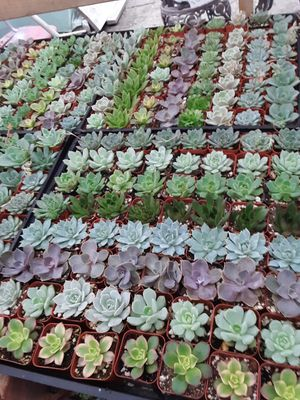"""2"""" pots with succulent plants $1.20 each and $60 for tray of 64 plants for Sale in Whittier, CA"""