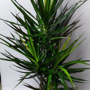 Real Dracaena Magenta plant 5feet $55 Price is FIRM Located In The City Of Anaheim Cash Only for Sale in Anaheim, CA