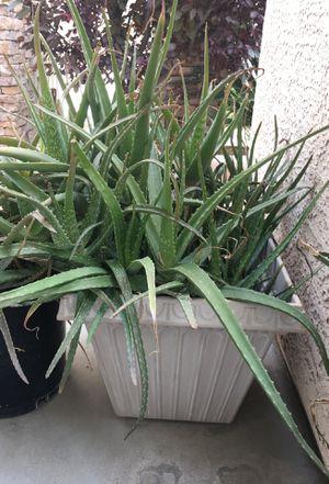 Aloe plant for Sale in Las Vegas, NV