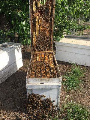 Honey bees hives,nucs for sale for Sale in Sacramento, CA