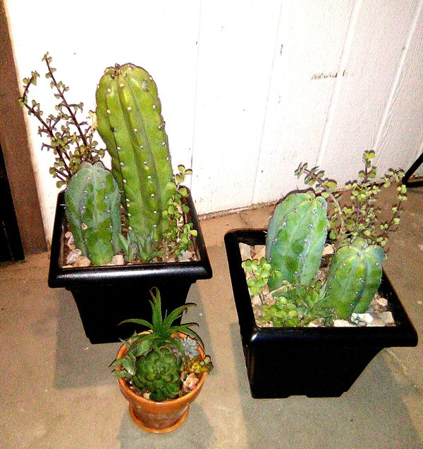 3 Beautiful Potted Cactus/Succulents