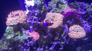 Rainbow bubble tip anemone for Sale in Dupo, IL