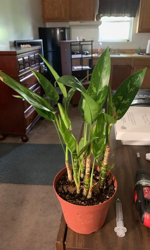 House plant small healthy for Sale in Virginia Beach, VA