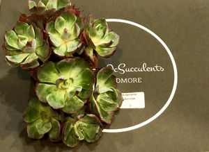 Echeveria amistar cluster rare succulent korea succulent for Sale in Midway City, CA