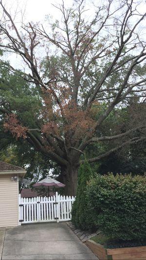 Free wood Oak tree for Sale in Woodbury, NJ