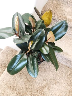 Rubber plant for Sale in Vancouver, WA