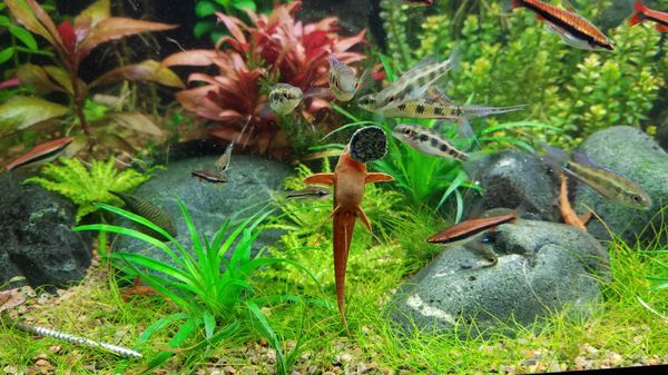Red whiptail cat, rineloricaria sp
