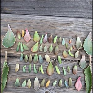 Mix Variety Succulent Leaves For Propagation for Sale in South Gate, CA