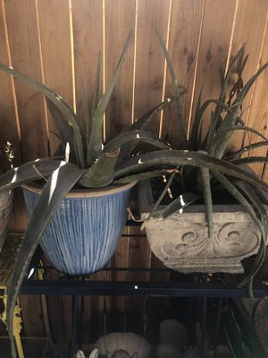 Aloe Vera plants is pot for Sale in Henderson, NV