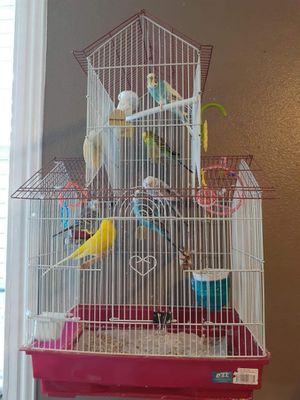 Budgies / Parakeets for sale for Sale in Dallas, TX