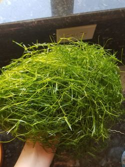 A Bunch Of Guppy Grass Aquarium Plant for Sale in Phoenix,  AZ