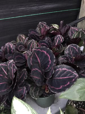Assorted calatheas for Sale in Miami, FL