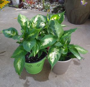 House plants$10-$12 each pot for Sale in St. Louis, MO