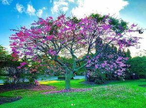 Silky floss tree in 25 gal 9ft arboles de ceiba em 25 gal for Sale in Delray Beach, FL