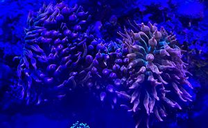 rainbow bubble tip anemones for Sale in Everett, MA