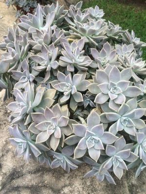 Ghost Plant Succulent Cuttings for Sale in Rochester Hills, MI