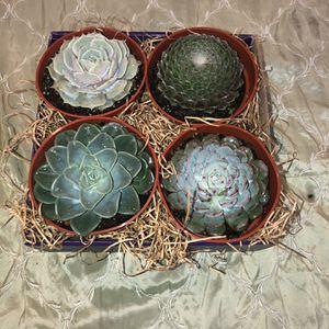 Succulent Gift Box! for Sale in Orange, CA