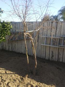 Pommegranite Tree for Sale in Modesto,  CA