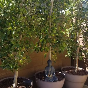 Ten ficus trees available in resin pots . 8' high. $95.00 each for Sale in Los Angeles, CA