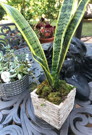 Snake plant for Sale in Plano, TX