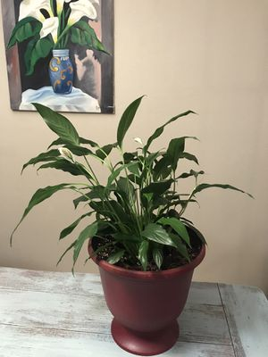 peace lily spathiphyllum flower plant for Sale in Grand Prairie, TX